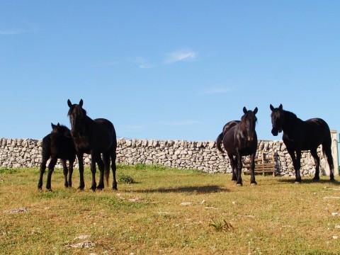 Masseria Signora, cavalli murgesi