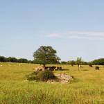 Masseria Signora, mucche al pascolo